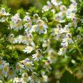 Gemeiner Augentrost (Euphrasia rostkoviana)