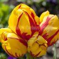 Tulpenblüte, Insel Mainau