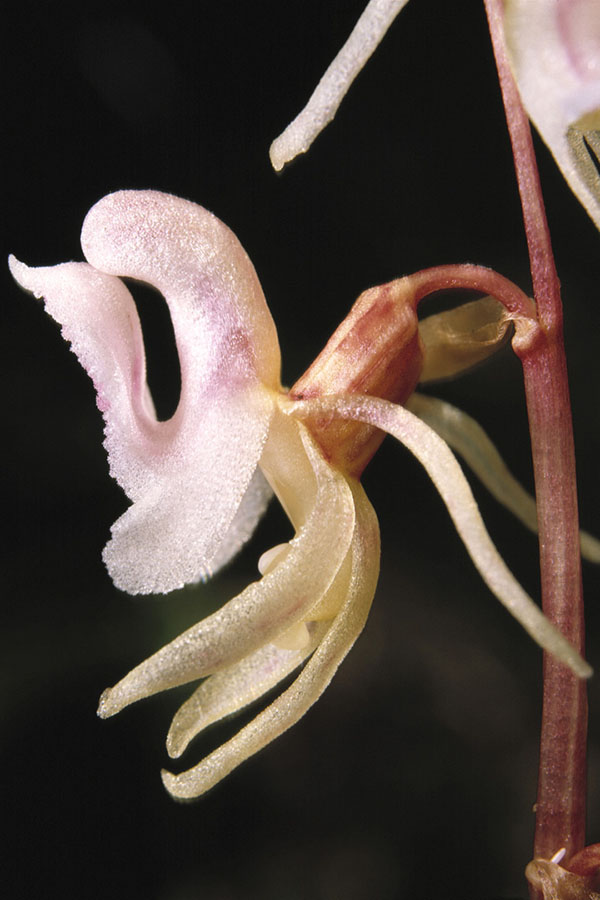 Blattloser Widerbart, Ohnblatt (Epipogium aphyllum)