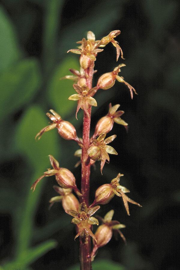 Herzblättriges Zweiblatt (Listera cordata)