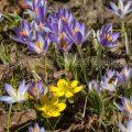 15573 Krokusse (Crocus), Winterlinge (Eranthis hyemalis) mit Bienen