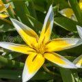 169626 Berg-Tulpe (Tulipa montana)