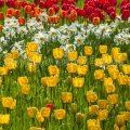 17170 Tulpenblüte, Insel Mainau