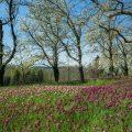 17187 Tulpenblüte, Insel Mainau
