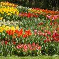 17246 Tulpenblüte, Insel Mainau