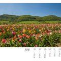 Tulpenfeld vor der Bassgeige