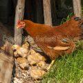 Haushühner (Gallus gallus domesticus)