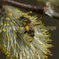 Biene an Silber-Weide (Salix alba)
