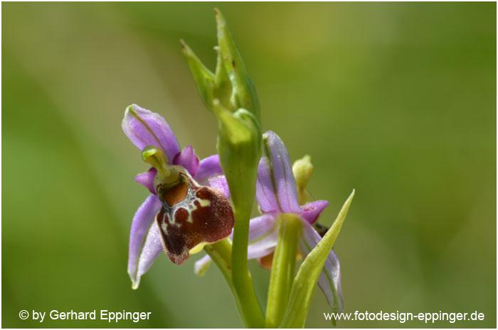 Hohe Hummel-Ragwurz (Ophrys elatior)