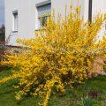 33276 Garten-Forsythie (Forsythia × intermedia)