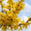 33279 Garten-Forsythie (Forsythia × intermedia)