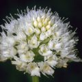 580_0316 Rosa Kugelorchis (Traunsteinera globosa)