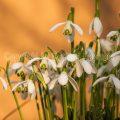 65963 Kleines Schneeglöckchen (Galanthus nivalis)