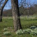 Kleines Schneeglöckchen (Galanthus nivalis)